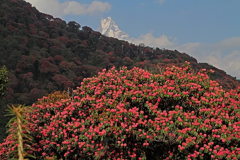Rhododendron Forest.