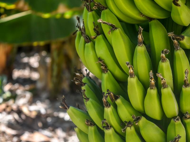 Banana Farm.