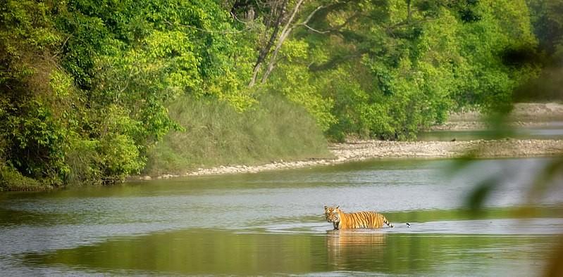 bardiya national park nepal, bengal tiger in bardiya nepal